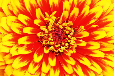 Zinnia Flower in Red and Yellow