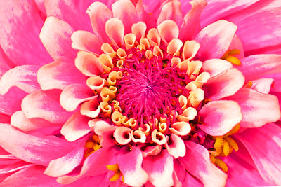 Zinnia Flower in Pink and White