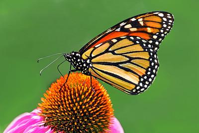 Monarch on Purple Comeflower