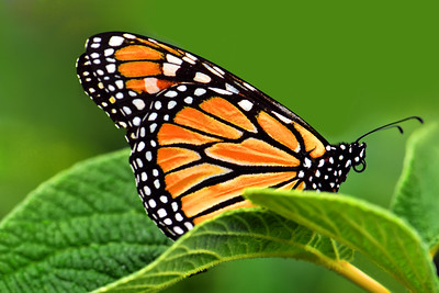 Monarch Butterfly on Viburnum Leaf