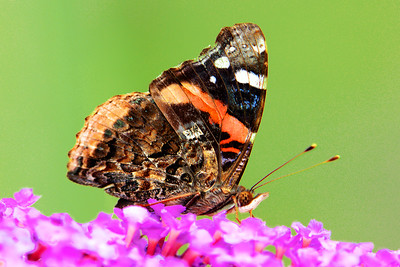Red Admiral Butterfly on Pink Butterfly Bush Flowers