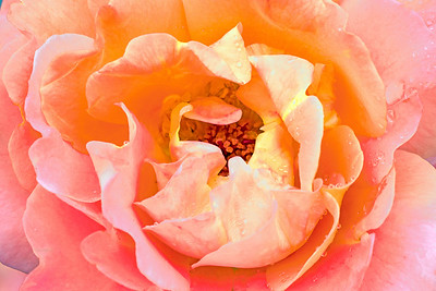 Westerland Rose Portrait