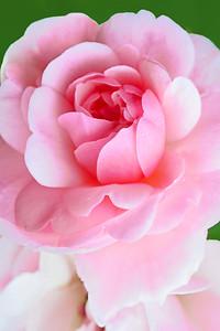 Pink Rose Bonica