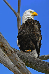 Bald Eagle Standing Guard