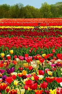 Tulip Zen