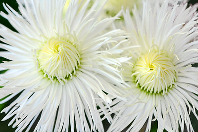 White English Daisies
