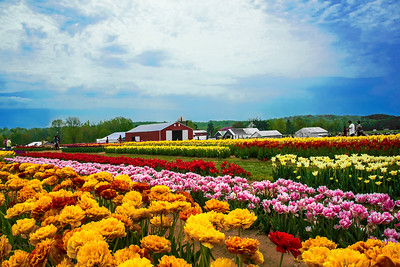 Tulip and Farm Landscape N.J.