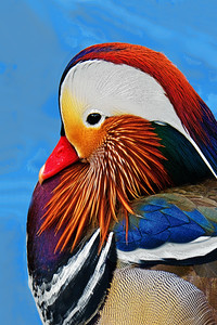 Mandarin Duck Portrait 3