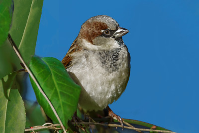 House Sparrow Portrait