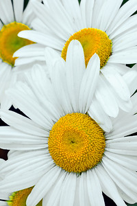 Autumn Daisy Grouping