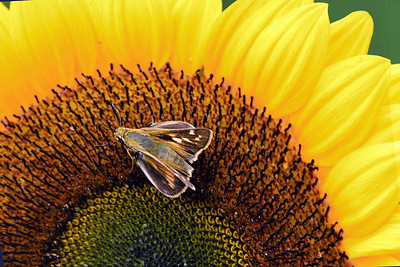 Sunflower and Skipper Butterfly