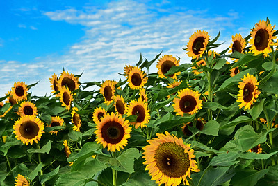 September Sunflower Landscape