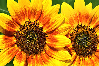 Cream of the Crop Sunflowers