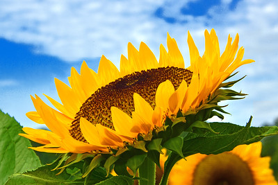 Sunflower Invitation to Joy