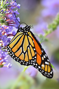Monarch on Lavendar Butterfly Bush