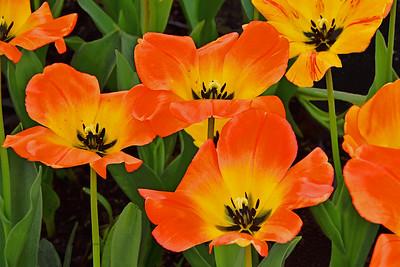 Tulip Joy in Orange and Yellow