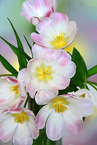 Tulips in Pink and White