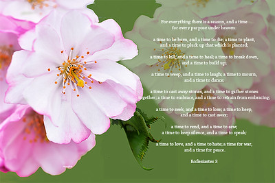 Cherry Blossoms and Scripture