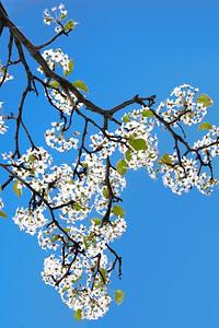 Pear Blossoms - Blue Sky