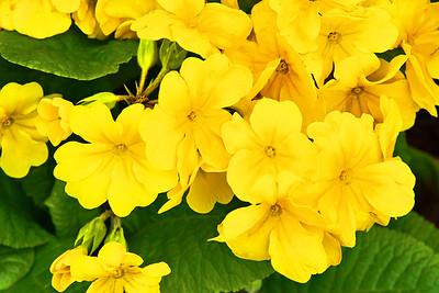 Yellow Primrose Blossoms