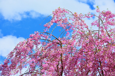 Cherry Blossom Branches in the Breeze