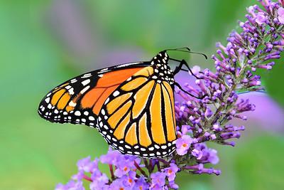 Monarch on Purple Butterfly Bush Flower