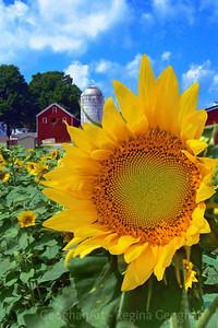 Sunflower Days in NJ