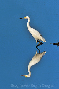 Wading Snowy Egret and Reflection