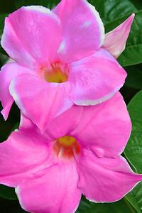 Pink Mandevilla Flower Portrait