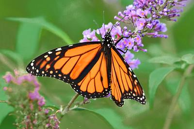 Monarch Butterfly on Buddleia Flower