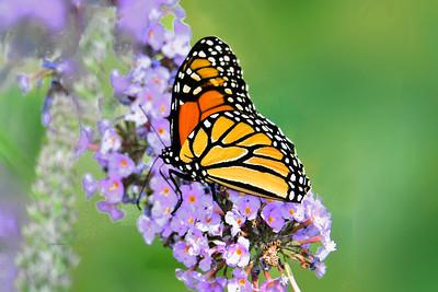 Monarch Feeding on Butterfly Bush