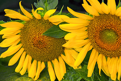 Sunflower Duo in Sunlight  and Shadows