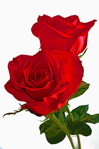 Two Red Roses on White