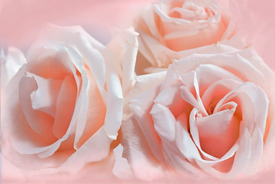 Peach Roses - Light and Lovely-