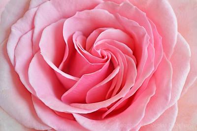 Pink Rose Pinwheet
