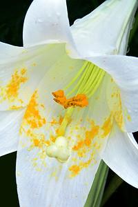 White Asiatic Lily Portrait