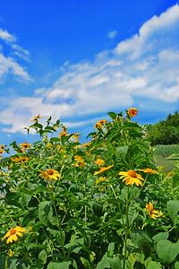 False  Sunflowers and Summer Sky