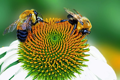Two Bees on a  a White Coneflower