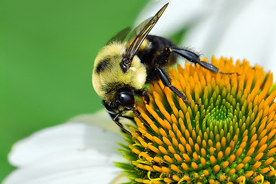 Bumble Bee on Echinacea Blossom