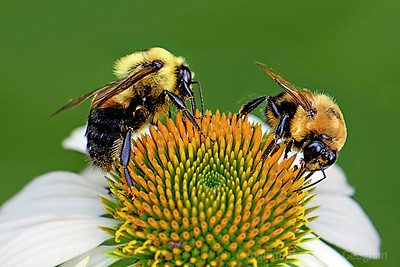 Busy Bumble Bees on White Coneflower