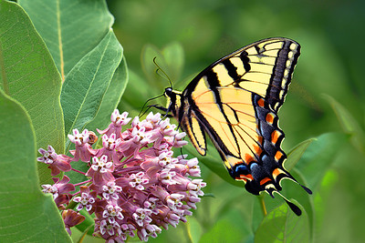Eastern Tiger Swallowtail Butterfly and Milkweed