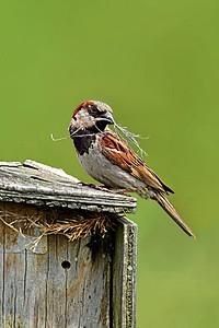 Nest-building House Sparrow