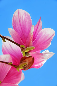 Pink Magnolia and Blue Sky