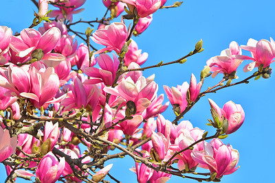 Pink Magnolia Branches and Blue Sky