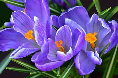 Trio of Purple Crocus Flowers