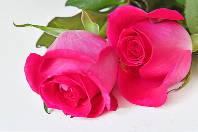 Two Hot Pink Roses