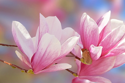 Sweet Pink Magnolia Blossoms