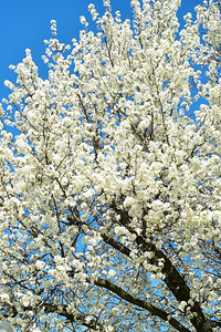 Blooming Ornamental Pear Tree
