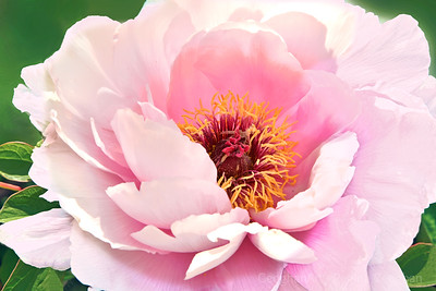 Pink Peony Sweetness