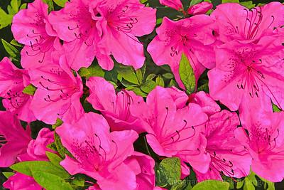 Pink Azaleas-Light and Shadows
